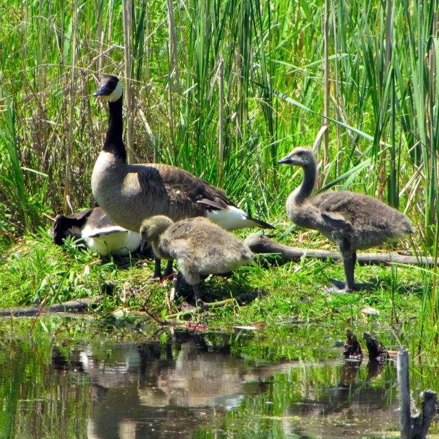 """""""Canadian Goose Family"""" stock image"""