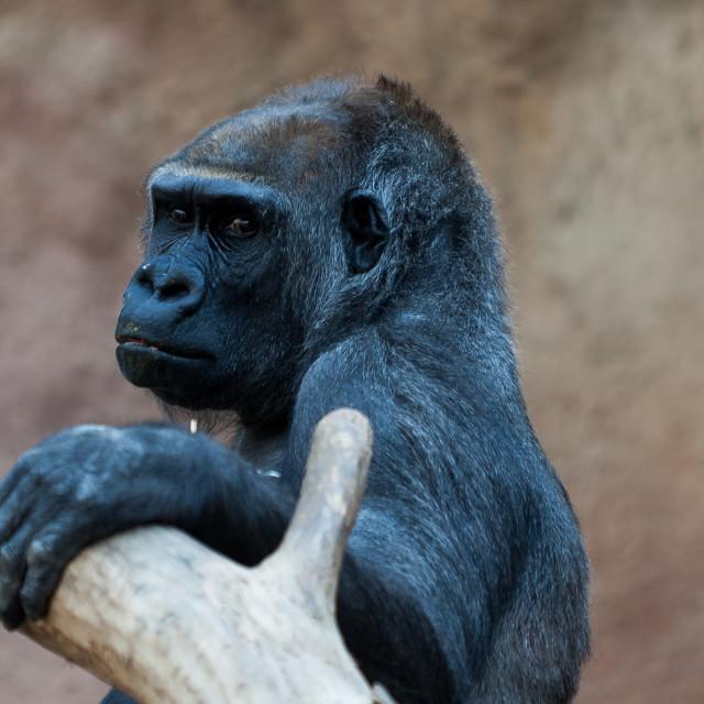"""Gorilla"" stock image"