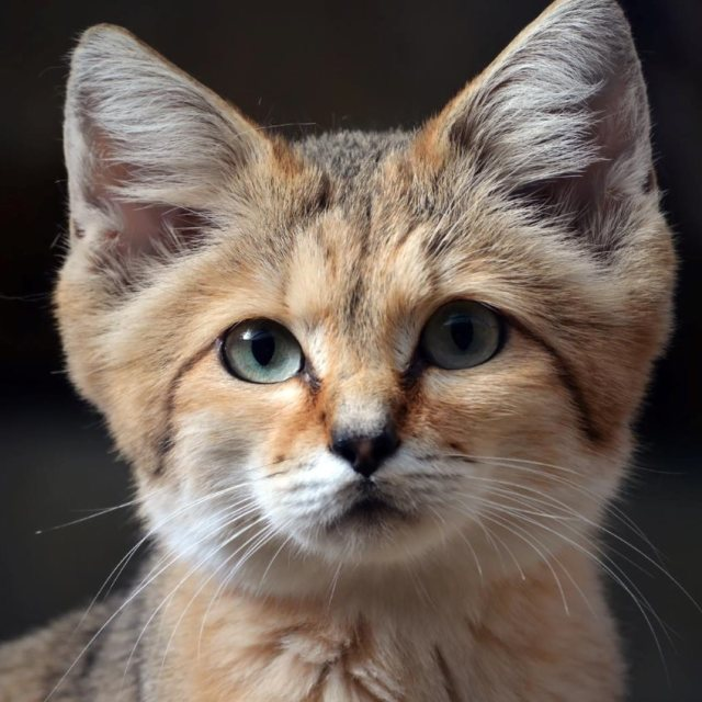 """A Wild Sand Cat"" stock image"