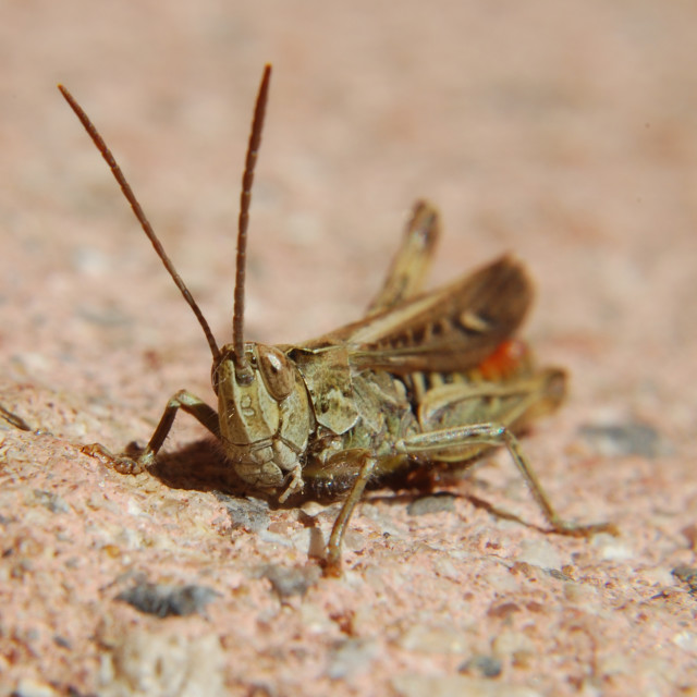 """Sunbathing Grasshopper"" stock image"