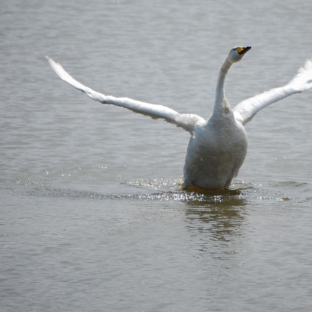 """Swan lake landing"" stock image"