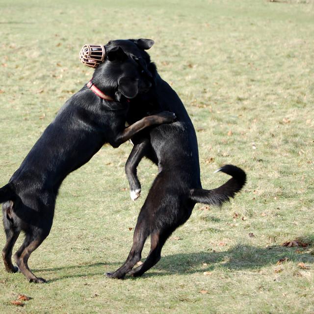 """""""Dog jousting"""" stock image"""