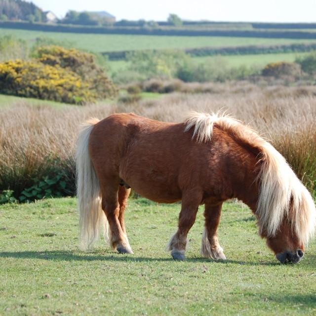 """Shetland Pony Grazing"" stock image"