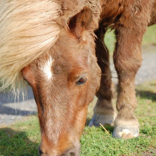 """Shetland Pony Head Shot"" stock image"