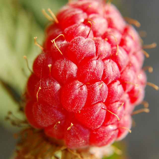 """Red berry macro"" stock image"