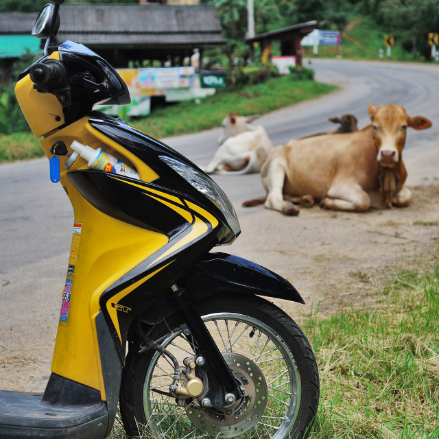 """Motorcycle and Cow"" stock image"