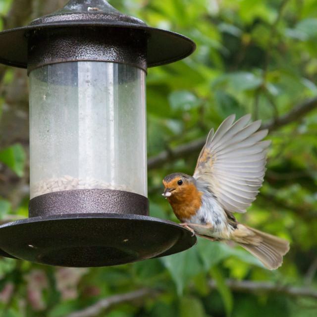 """Feeding Robin"" stock image"