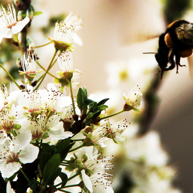 """""""Honey Bee at work in spring's fruit tree blossoms"""" stock image"""