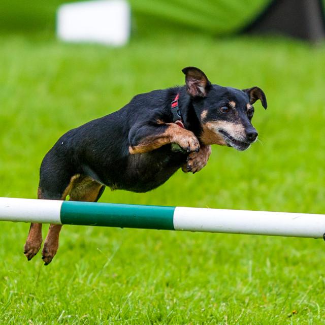 """Dog Jumping"" stock image"