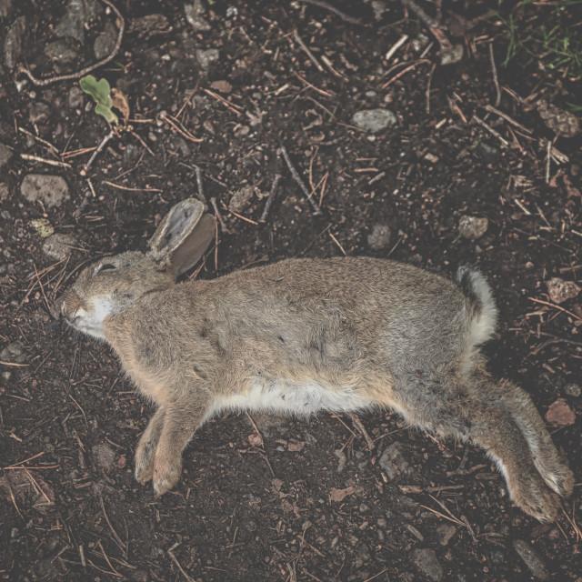 """Dead rabbit"" stock image"