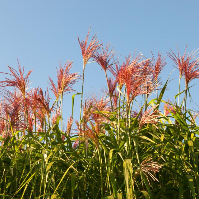 """flowering Miscanthus"" stock image"