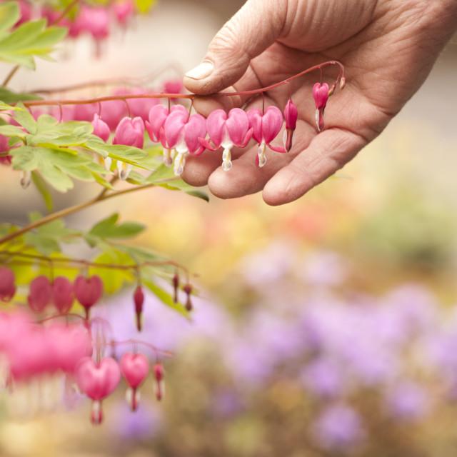 """gardener looks at his grown flowers"" stock image"