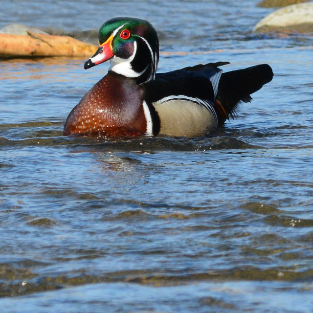 """Colorful Male Wood Duck"" stock image"