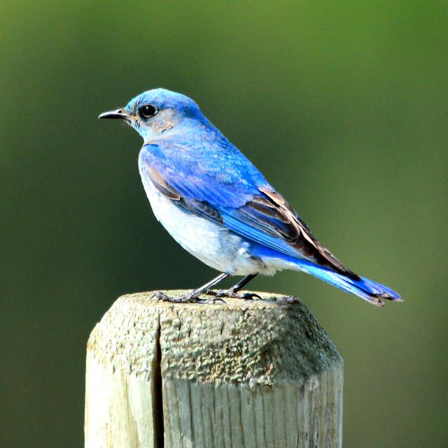 """Mountain Blue Bird"" stock image"