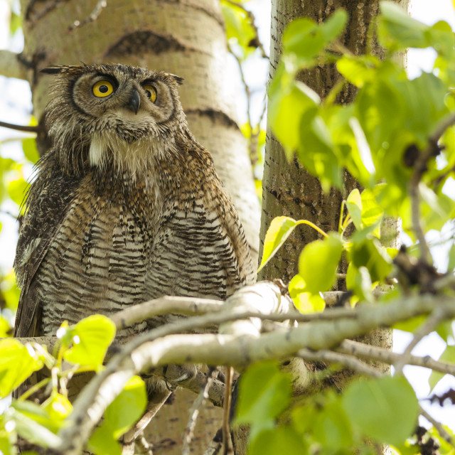 """great horned owl"" stock image"