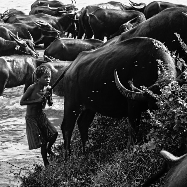 """Playing with buffalo"" stock image"