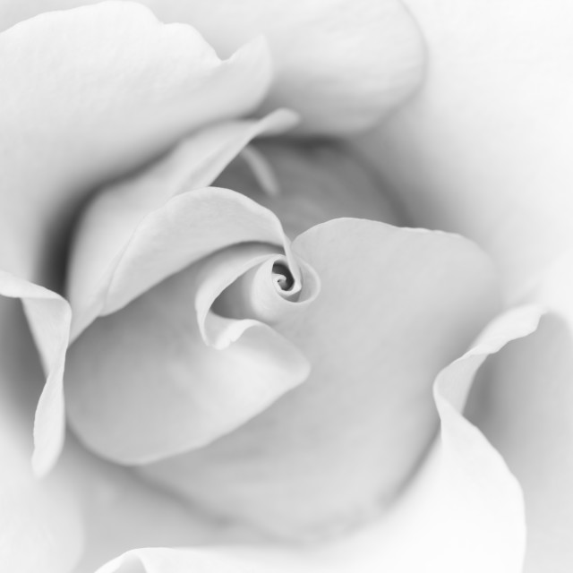 """Mono Rose"" stock image"