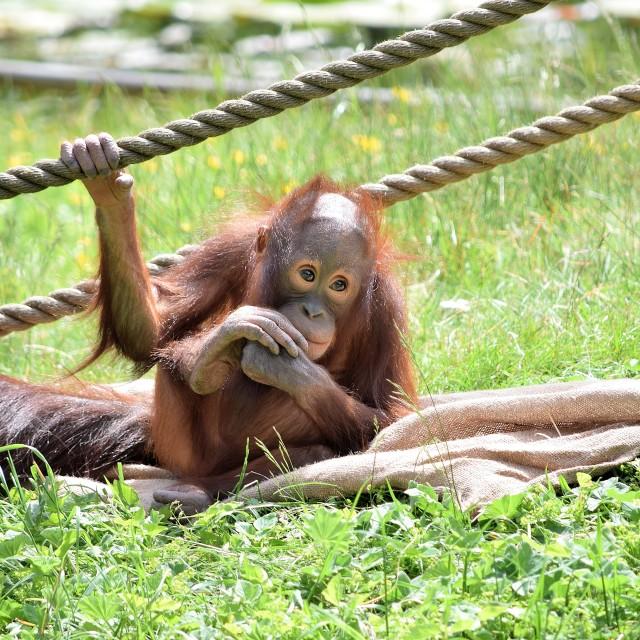 """Orangutan"" stock image"