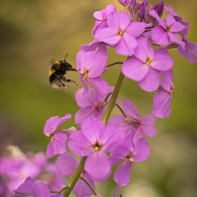 """Bee Landing on River Side Wild Flower"" stock image"
