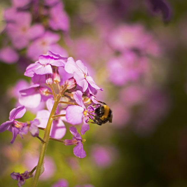 """Bee on River Side Wild Flower"" stock image"