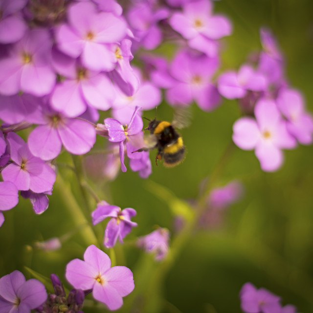 """Bumble Bee on River Side Wild Flower"" stock image"