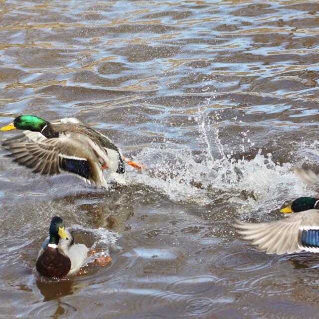 """Fighting Ducks"" stock image"