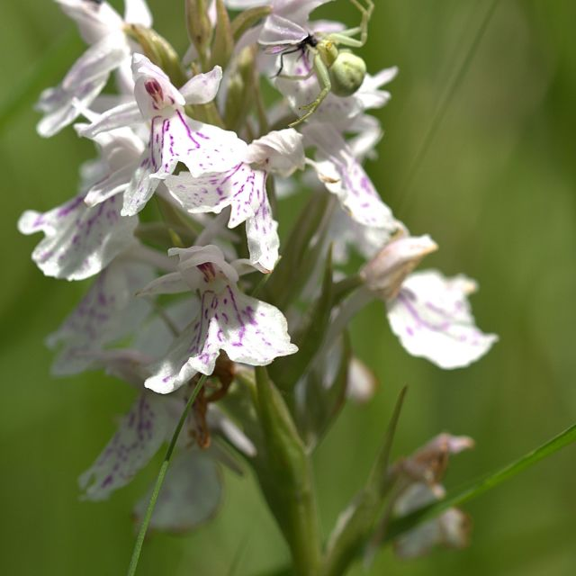 """""""Heath-Spotted Orchid"""" stock image"""