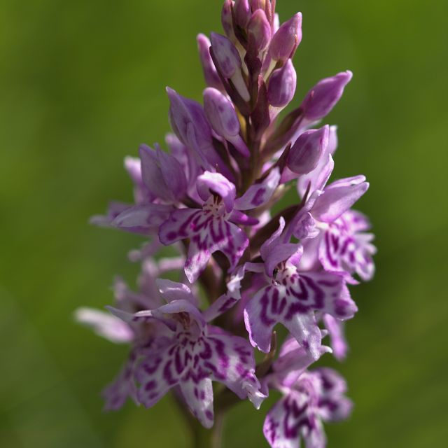 """Common Spotted Orchid"" stock image"