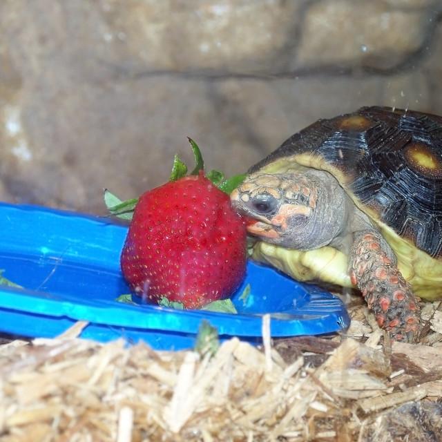 """Turtle Eating Strawberry"" stock image"