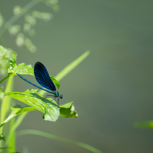 """""""Blue dragonfly"""" stock image"""