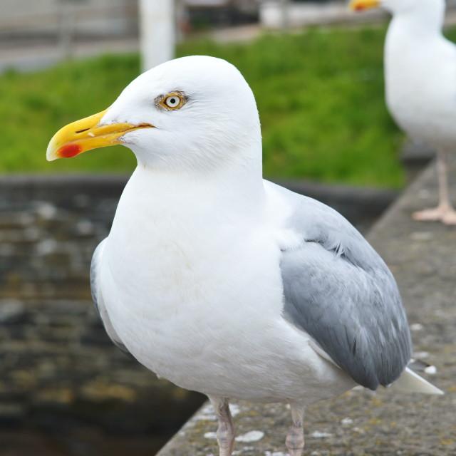 """""""Herring Gull"""" stock image"""