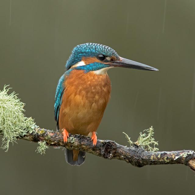 """Kingfisher In the Rain"" stock image"