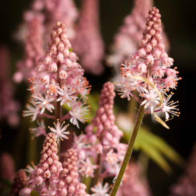 """TIARELLA, Garden, Shade-loving garden flower"" stock image"