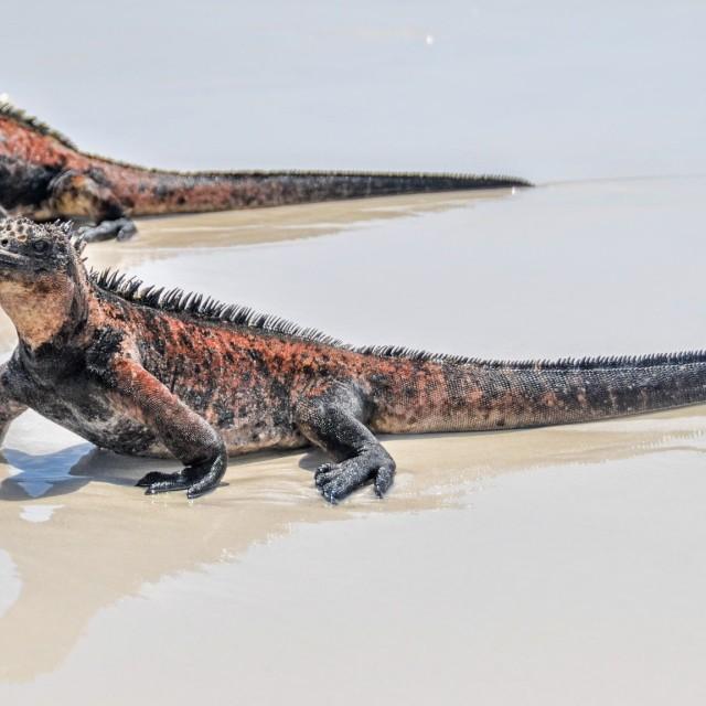 """Iguanas"" stock image"