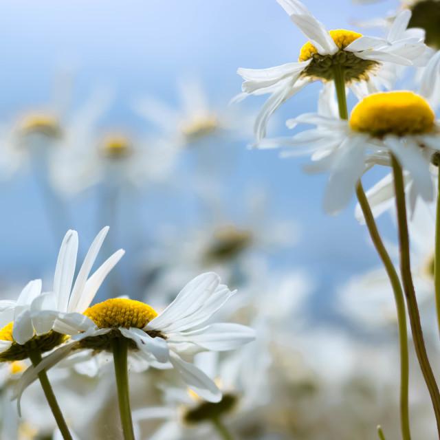 """Wild Daisies"" stock image"