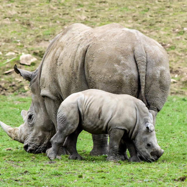 """Mother & Baby Rhino"" stock image"