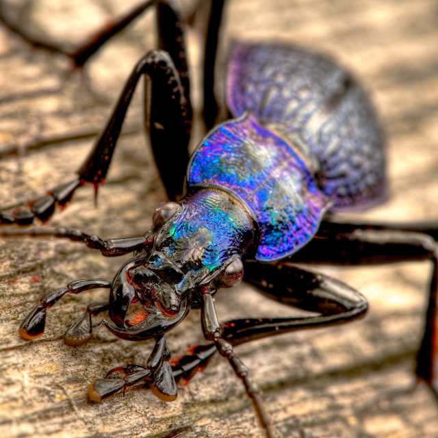 """Ground beetle - carabus intricatus"" stock image"