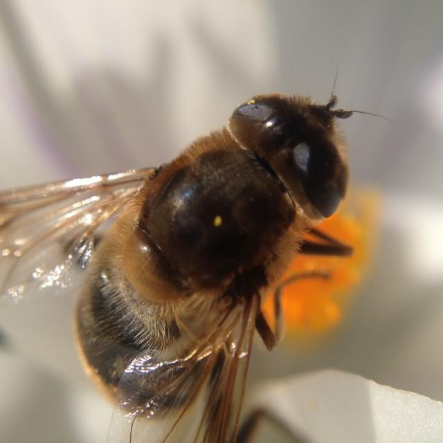 """Bee pollinating a crocus"" stock image"