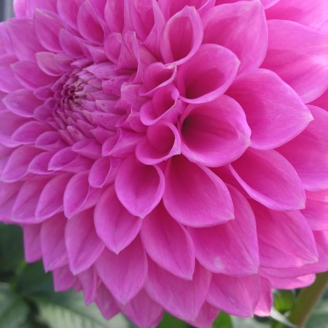 """""""Dahlia flower in full bloom"""" stock image"""