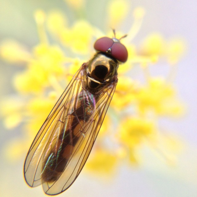 """Hover fly on a flower"" stock image"