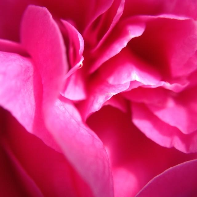 """Camellia flower petals"" stock image"