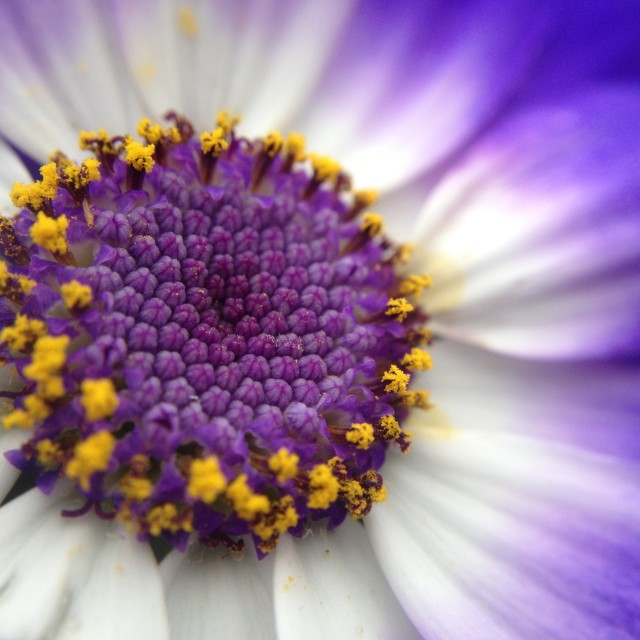 """Cineraria flower"" stock image"