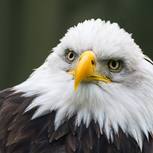 """Bald Eagle Portrait"" stock image"