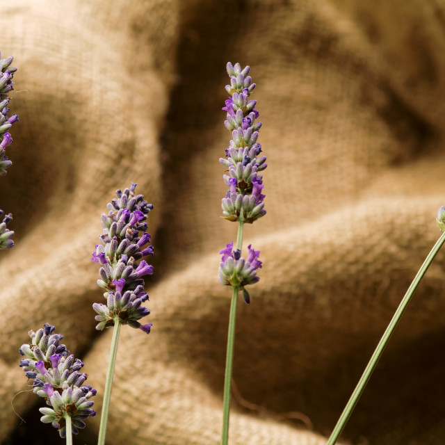 """""""Lavender in Group"""" stock image"""