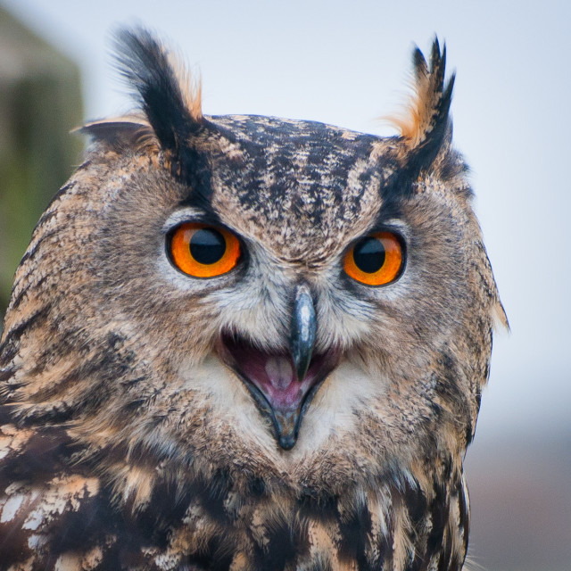 """Long Eared Owl (Captive)"" stock image"