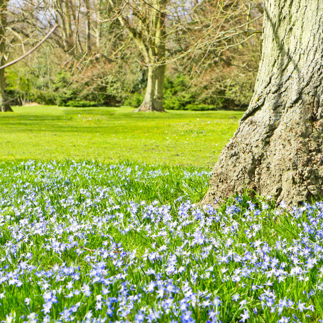 """Bluebells"" stock image"