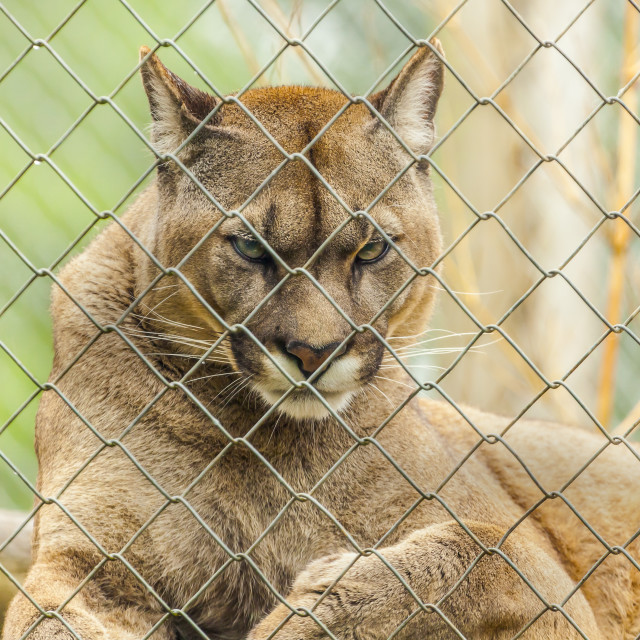 """Puma"" stock image"