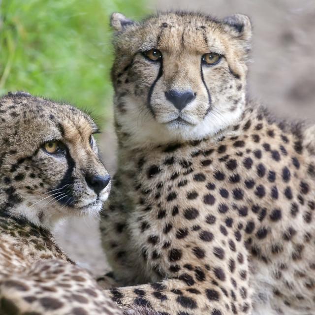 """""""Cheetah Pair"""" stock image"""