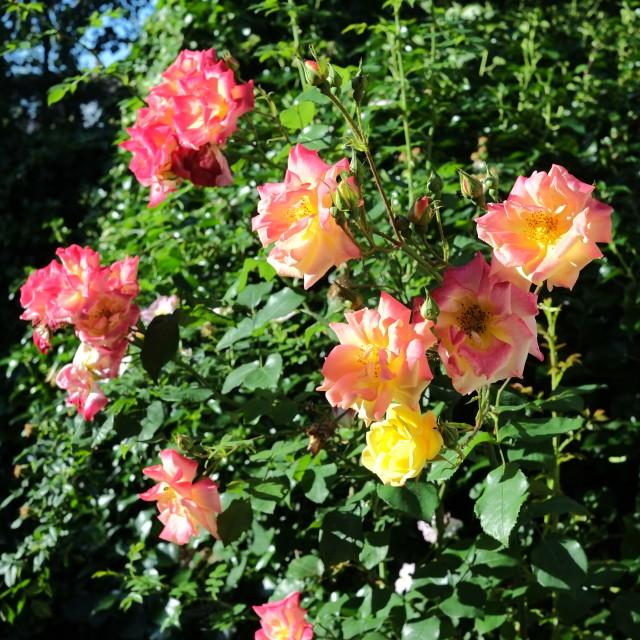"""""""Garden Roses"""" stock image"""