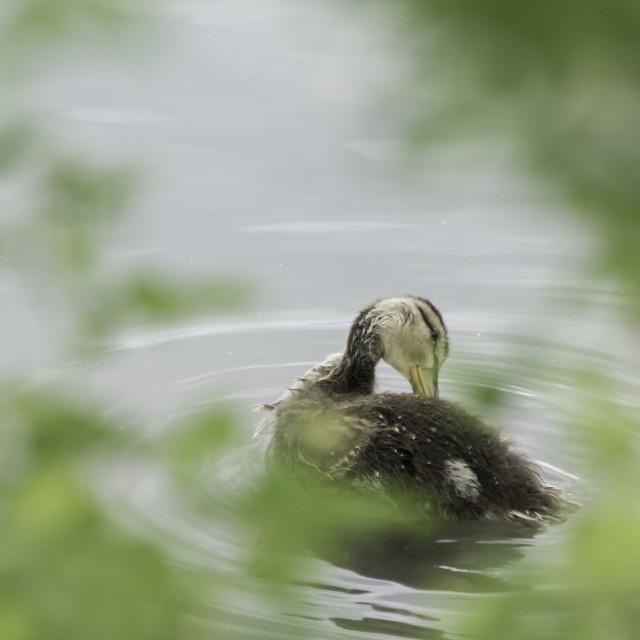 """Baby duck"" stock image"